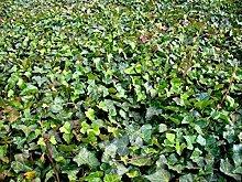 100 Stück Hedera hibernica * (Großblättriger