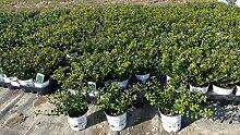 100 Stück Ilex crenata Stokes Heckenpflanze 20 cm