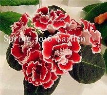 100 Stück importiert Gloxinia Pflanze Bonsai