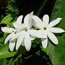 100 Stück Jasmin längliche Pflanze gesägt Haus