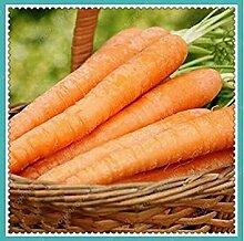 100 Stück Karotte Samen Ginseng Karotte Gelb Haut