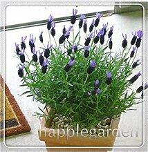 100 Stück Lavendel Bonsai Kraut Bonsai-Garten