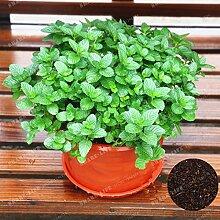 100 Stück Lemon Mint sät aromatische Kräuter Pflanze Mentha arvensis Samen Bonsai Kräuterpflanzen Essbare Für Hausgarten Easy Grow