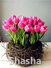 100 Stück Mini Bonsai Tulpe, Innen Tulip Schöne