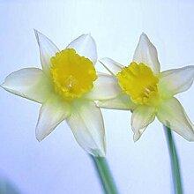 100 Stück Narzisse Blumensamen Pflanze Home