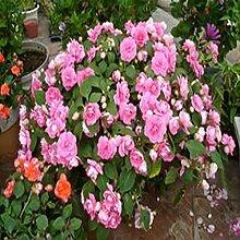 100 Stück Pelargonie Samen Geranie Blume Garten