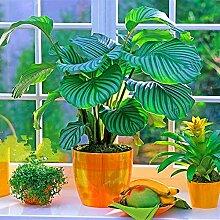 100 Stück Pflanze Bonsai Samen Frische