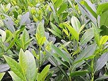 100 Stück Prunus laurocerasus 'Herbergii' - (Kirschlorbeer 'Herbergii')- Topfware 15-30 cm