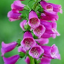 100 Stück Rosa Fingerhut Samen Für Den Garten Im
