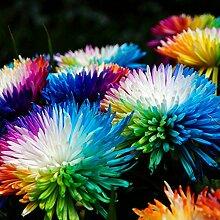 100 Stück Seltene Regenbogen Chrysantheme