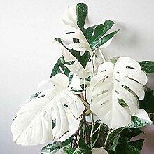 100 Stück Weiße Monstera Palm Schildkröte Blatt
