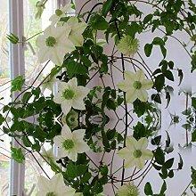 100 Stücke Clematis Seed Patio Und Garten Balkon