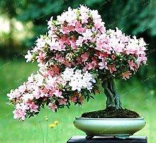 100 stücke seltene bonsai azalee samen
