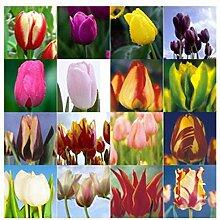 100 Teile/beutel Bonsai Tulpe Samen 20 Sorten