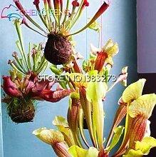 100Violett Krug Pflanze rote Schlauchpflanze Blume Samen Fleischfressende Pflanze Blumen Bepflanzen Büro mini-plants