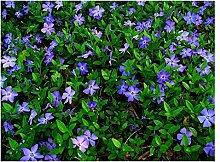 100 x Vinca minor (Blau) Kleines Immergrün