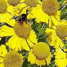 1000 Herbst Sonnenbraut Native Wildflower Samen