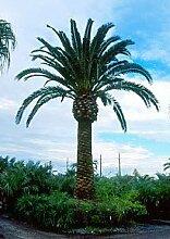 1000 kanarische Dattelpalme Samen, Phoenix