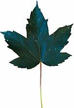1000 Samen Berg Ahorn -Acer pseudoplatanus-
