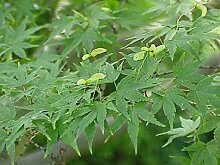 1000 Samen -Fächer-Ahorn- (Acer palmatum)