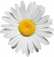 1000+ Samen Margerite -Leucanthemum-