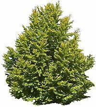 1000 Samen Rotbuche (Fagus sylvatica) (Heimischer
