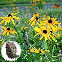 1000 Samen Rudbeckia Hirta, Blumensamen zum