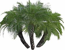 1000 Samen Zwerg-Dattelpalme -Phoenix roebelinii-