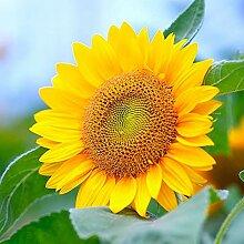 10000Pcs Sonnenblumenkerne Helianthus Blume