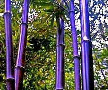 100PC seltenen lila Bambus Samen, schöne