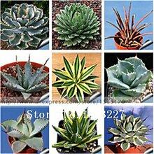 100pcs 100% echte Seltene Agave Samen, Pflanze Baumsamen Kräuter Blumensamen Sukkulente Freies Verschiffen