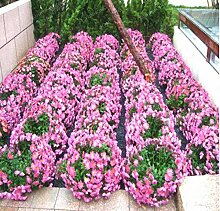100pcs / bag Bodendecker Chrysanthemum Samen