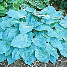 100pcs / bag Hosta Samen Hof Perennials Plantain