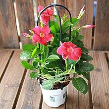 100pcs / bag Mandevilla Dipladenia Bonsai Samen Indoor-Anlage Zierpflanze für Zuhause Gartenhof Kostenloser Versand 1