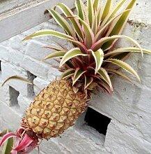 100pcs / bag Multi-Color Seltene Ananas Samen Fruchtsamen für Garten Balkon Bonsai Pflanze Freies Verschiffen 3