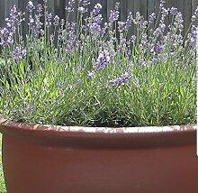 100pcs / bag Provence Lavendel Samen lila Lavandula Vanille Samen duftend organischen Lavendel Samen Pflanze Blume Hausgarten 3