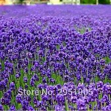 100pcs / bag Provence Lavendel Samen lila