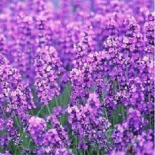100pcs/bag Provence Lavendel Samen lila Lavandula
