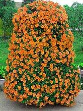 100pcs / bag Röslein, rosafarbene Samen Bonsai Blumensamen Exotische Samen Gartendeko Topfpflanze für Hausgarten