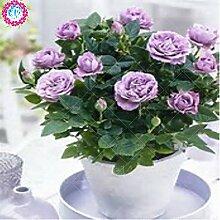 100pcs / bag Rosenbaum, lila rosafarbene Samen,