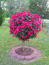 100pcs / bag Rosenbaum, rosafarbene Samen Bonsai Blumensamen Exotische Samen Gartendeko Topfpflanze für Hausgarten 7