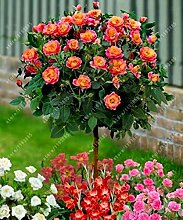 100pcs / bag Rosenbaum, rosafarbene Samen Bonsai Blumensamen Exotische Samen Gartendeko Topfpflanze für den Heimgarten 2