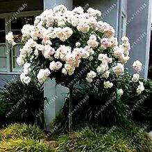 100pcs / bag Rosenbaum, rosafarbene Samen Bonsai Blumensamen Exotische Samen Gartendeko Topfpflanze für den Heimgarten 1