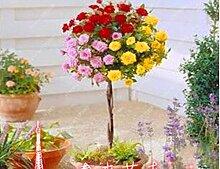 100pcs / bag Rosenbaum, rosafarbene Samen Bonsai Blumensamen Exotische Samen Gartendeko Topfpflanze für 16 Hausgarten