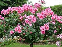 100pcs / bag Rosenbaum, rosafarbene Samen Bonsai Blumensamen Exotische Samen Gartendeko Topfpflanze für den Heimgarten 6