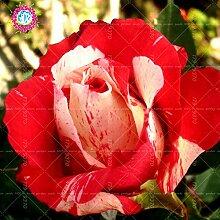 100pcs / bag Schwarz Baccara Hybrid Rose Strauch Blumensamen, frischen exotischen True Blood Rose Blume Pflanze Hausgarten Bonsai Pflanzenset 5