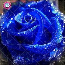 100pcs / bag Schwarz Baccara Hybrid Rose Strauch Blumensamen, frischen exotischen True Blood Rose Blume Pflanze Hausgarten Bonsai Pflanzenset 6