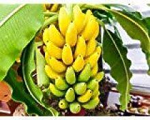 100pcs / bag Topf Banane Samen Bio-Fruchtsamen