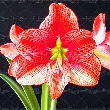 100pcs Blumensamen amaryllis Barbadoslily