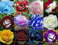 100PCS Blumensamen Holland Rose